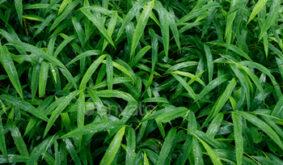 Fresh green grass with dew drop closeup