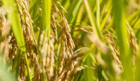 rice close-up in autumn